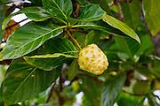Noni Fruit, Hawaii