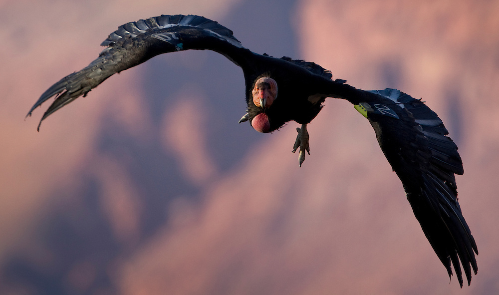 """About 72 California condors, once wiped out in Arizona, now nest near the Grand Canyon and Vermilion Cliffs, few endangered species have required the attention and care the condors have. So far, the reintroduction program has proved successful. California Condor #70, an eight year-old male, soars near Navajo Bridge. """"The recent historical range is not always the best place,"""" said Chris Parish, California condor project director for the non-profit Peregrine Fund. """"In some cases, the recent historic range is where they went extinct."""" Condors have adapted to the canyons and cliffs of northwestern Arizona and may never fly across the distances they once did, but Parish said recovery of a species doesn't necessarily mean restoring the past. """"What we should be concerned with is whether we leave the environment in a way that these species can survive in the future,"""" he said. """"It's true extinction is part of the natural process, but it's becoming clear we played a role in the condors' decline. I'm not one to say we have to make it like it was, but we should make it like we want it in the future."""""""