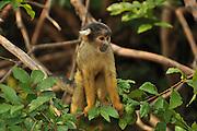 Wild Bolivian squirrel monkey, Saimiri boliviensis boliviensis. Photographed at the Pampas del rio Yacuma, Bolivia amazon rainforest
