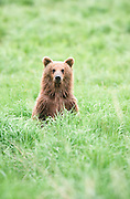Alaska . Ursus Arctos . Katmai National Park . Grizzly bears in Katmai have a healthy diet of salmon. Bear poking head out from behind tall grasses.