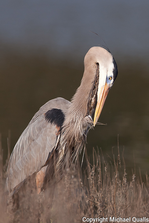 Great Blue Heron preening chest feathers.