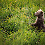 A cub stands when startled by a river otter near the Coast of Lake Clark National Park in Alaska.