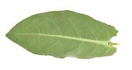 Great Mullein - Verbascum thapsus