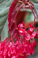 A red angel-wing Begonia in the Gemrose Eden Garden, St. David's, Grenada, West Indies, the Caribbean