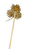 Wild Onion - Allium vineale