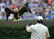 """The bald eagle Challenger flies towards its handler Al Cecere during the singing of the """"Star Spangled Banner"""" before a baseball game between the Chicago Cubs and the San Diego Padres, Monday, May 28, 2012 in Chicago.  (AP)"""