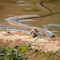 Masticophis flagellum, south Texas