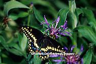 03009-00918 Black Swallowtail (Papilio polyxenes) on Mountain Blue (Centaurea montana)  Marion Co.  IL