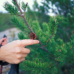 Acadia N.P., ME.  Jack Pine, Pinus Banksiana.  On Cadillac Mountain - South Ridge Trail.