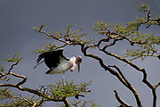 Marabou Stork (Leptoptilos crumeniferus), on a tree. with an overcast sky background.  This large stork is found it sub-Saharan Africa. It specialises in scavenging, competing with vultures for carcasses and human rubbish. It also takes live prey. Photographed at Serengeti national park, Tanzania