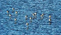Greater Yellowlegs (Tringa melanoleuca). Black Point Wildlife Drive, Merritt Island Wildlife Refuge. Merritt Island, Brevard County, Florida. Image taken with a Nikon D3 camera and 80-400 mm VR lens.