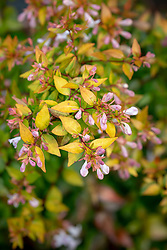 Abelia × grandiflora in autumn colour. Glossy abelia
