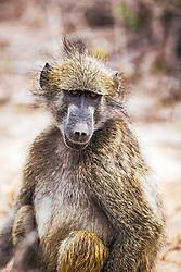 Baboon portrait, Kruger National Park