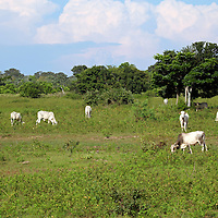 South America, Brazil, Pantanal. Grassland landscape and cattle of the Caiman Ecological Reserve in the Pantanal.