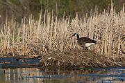 Canada goose on a muskrat lodge nest.