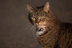 © licensed to London News Pictures. London, UK 25/07/2012. Freya, George Osborne's cat pictured in Downing Street. Photo credit: Tolga Akmen/LNP