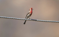 House Finch (Carpodacus mexicanus) perched on a wire, Jocotopec, Jalisco, Mexico