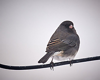 Dark-eyed Junco on a wire. Image taken with a Nikon D5 camera and 600 mm f/4 VR lens (ISO 560, 600 mm, f/4, 1/640 sec).