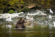 Bears hunting salmon in a stream at Pavlof Harbor on Chichagof Island, Inside Passage, Alaska, USA