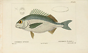 Crenidens from Histoire naturelle des poissons (Natural History of Fish) is a 22-volume treatment of ichthyology published in 1828-1849 by the French savant Georges Cuvier (1769-1832) and his student and successor Achille Valenciennes (1794-1865).