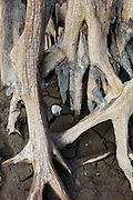 Roots from an old tree, submerged for 100 years in Rattlesnake Lake near North Bend, Washington, reach out of the cracking mud exposed after a prolonged drought.