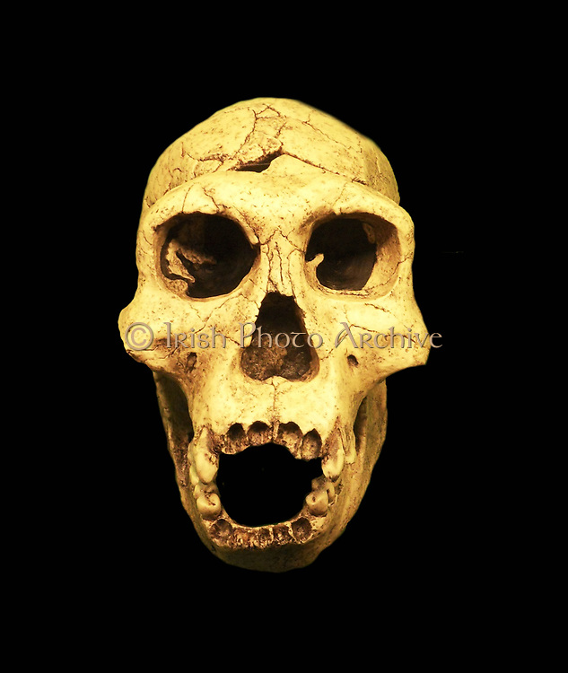 Homo erectus, extinct hominid living between 1.6 million and 250,000 years ago. Homo erectus is thought to have evolved in Africa from H. habilis, the first member of the genus Homo. Anatomically and physiologically, H. erectus resembles contemporary human
