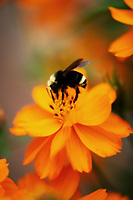 A bee drinks nectar from a beautiful Globe Flower.