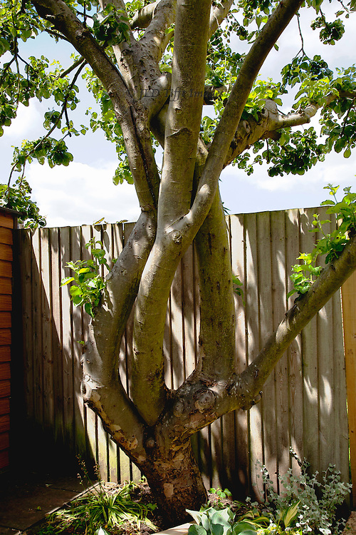Four twining trunks of a single apple tree in the garden.