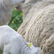 Nederland Barendrecht 5 april 2009 20090405 Foto: David Rozing ..Jonge lammetjes drinken bij moeder schaap .in de wei, lente, lenteweer.Little lambs feeding drinking in field in springtime..Foto: David Rozing
