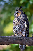 Long eared owl Asio otus, hunts rodents, normally at night, roosts in trees in daytime, Fort Collins foothills, Colorado, eyes ears,