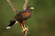 Harris's Hawk - Parabuteo unicinctus - adult