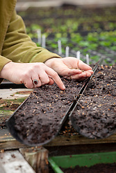 Sowing chard into gutter pipes