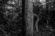 Rubber tapper Rian Azevedo de Barros, 18, extracts latex from a rubber tree in the Chico Mendes Extractive Reserve, in Xapuri, which was the most threatened and deforested protected area in 2019, according to IMAZON data. Much of the forest in the reserve is being destroyed for cattle pasture. The extractive reserve was created in 1990 to provide a sustainable model of forest exploitation for the traditional populations that inhabited this territory. The idea was to extract forest products, such as Brazil nuts and rubber, to provide income for these populations while maintaining the forest preserved.