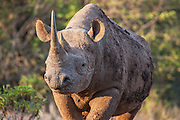 An endangered and aggressive black rhino or hook-lipped rhino (Diceros bicornis) coming out of the bush, The Aberdares, Kenya,Africa