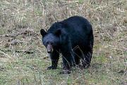 Black bear in habitat