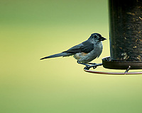 Tufted Titmouse. Image taken with a Nikon D4 camera and 600 mm f/4 VR lens.