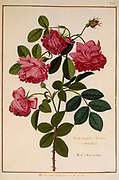 Rosa × centifolia a rose hybrid a 17th century hand painted on Parchment botany study of a from the Jardin du Roi botanical Florilegium of Prince Eugene of Savoy collection, Paris c. 1670 artist: Nicolas Robert