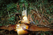 A group of Kombai cut up a sago palm that they have just felled in the rainforest in Papua, Indonesia. September 2000. The woody shafts of the leaves will be used for the washing of sago fibres. The Kombai are a so-called treehouse people who build their homes high up in the trees, and sago is one of their staple foods.