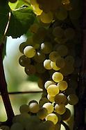 Chardonnay grapes hang on vines at the Iron Horse Vineyards in Sebastopol, Calif. on Saturday Sept. 27, 2003. (Photo by Jakub Mosur)
