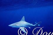 sandbar sharks, Carcharhinus plumbeus, North Shore, Oahu, Hawaii ( Central Pacific Ocean )
