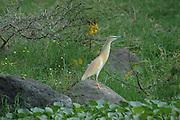 Kenya, lake naivasha, Kenya, Squacco Heron, Ardeola ralloides