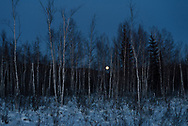 The full moon rises through the woodlands near Nenana, Alaska