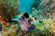 Solitary tunicate (Sea squirt) (Polycarpa aurata)<br /> Raja Ampat<br /> West Papua<br /> Indonesia