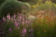 Sidalcea 'Sussex Beauty' and Helenium 'Moerheim Beauty' surrounded by ornamental grasses at sunrise in the garden at Bluebell Cottage, Dutton, Cheshire, UK