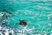 Green sea turtle, Hawaii<br />