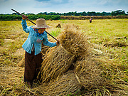 """21 NOVEMBER 2017 - MAUBIN, AYEYARWADY REGION, MYANMAR: A worker stacks freshly harvested rice at the edge of the paddy in the Ayeyarwady  Delta. Myanmar is the world's sixth largest rice producer and more than half of Myanmar's arable land is used for rice cultivation. The Ayeyarwady Delta is the most important rice growing region and is sometimes called """"Myanmar's Granary."""" The UN Food and Agriculture Organization (FAO) is predicting that the 2017 harvest will increase over 2016 and that exports will surge to 1.8 million tonnes.   PHOTO BY JACK KURTZ"""