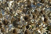Eryngium, dry flowers in winter sunlight en mass. London UK.