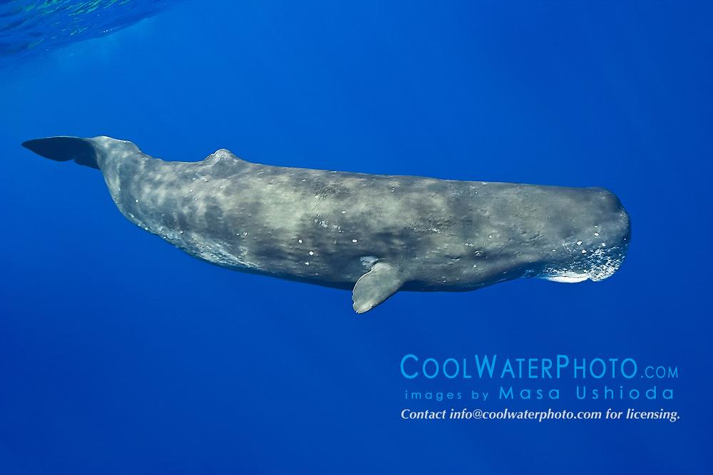 sperm whale, Physeter macrocephalus, Hawaii, USA, Pacific Ocean