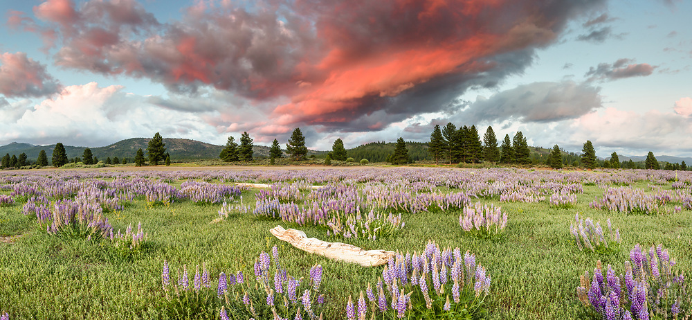 """""""Lupine at Boca Reservoir Sunset 7"""" - Panoramic photograph of a piece of driftwood and Lupine wildflowers growing along the shore at Boca Reservoir in Truckee, California."""