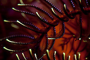 Crinoidea (Feather Stars of New Zealand).
